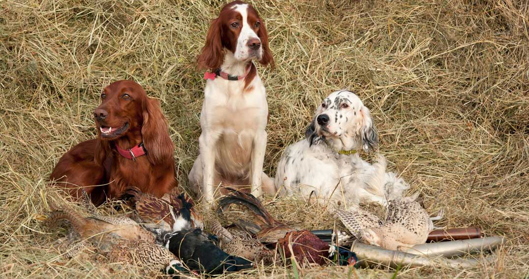 Hunting Dogs with Birds