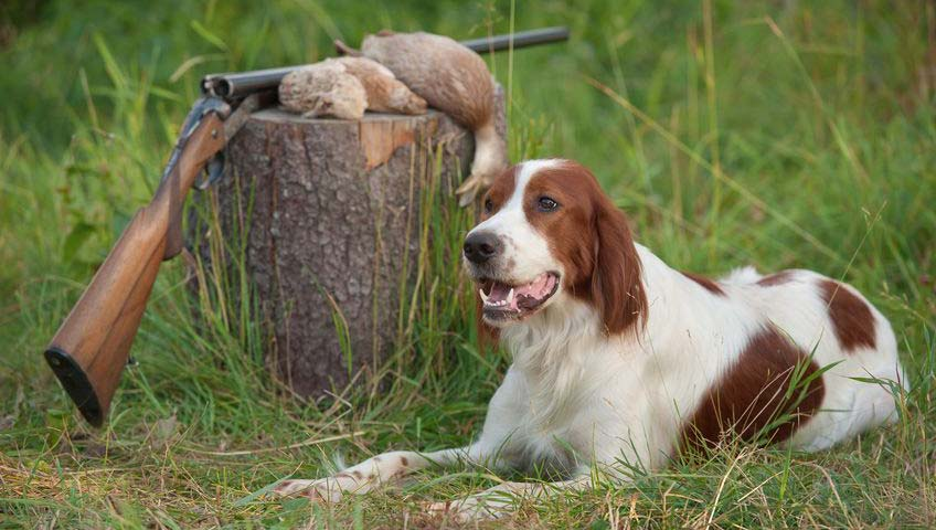 Irish Red White Setter