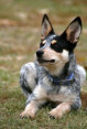 Australian Cattle Dog or Blue Heeler