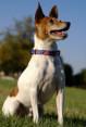 Fox Terrier - Toy
