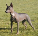 Mexican Hairless Dog - Xoloitzcuintli