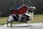 Welsh Corgi-Cardigan