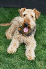 Airedale Puppies on Airedale Terrier Puppies   Dog Breed Info  Pictures