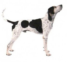English Coonhound - Standard Dog Breed Info, Pictures,