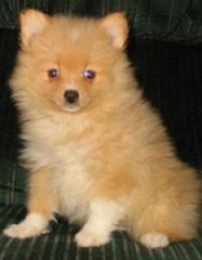Pomapoo Dog Breed Info & Pictures | Pomapoo Puppies