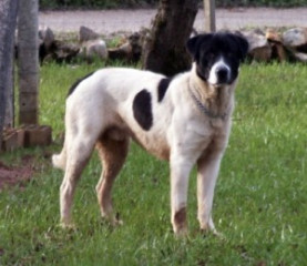 Rafeiro Do Alentejo Puppies