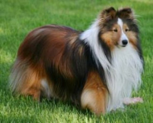Shetland Sheepdog Puppies on Dog Breed Info  Pictures    Profile   Shetland Sheepdog Puppies