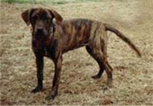 Treeing Tennessee Brindle Puppies