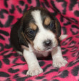 cute Beagle pup for sale