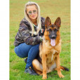 Import Trained Adult Male GSD
