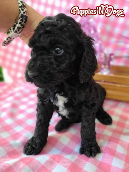 Poodle - Standard Puppies