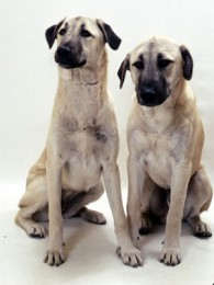 Anatolian Shepherd Dog Puppies