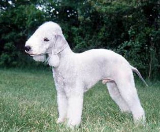 Bedlington Terrier Puppies