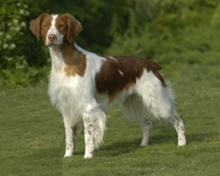 Brittany Spaniel Puppies