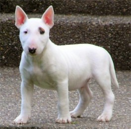 Bull Terrier - Miniature