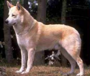 Canaan Dog Puppies