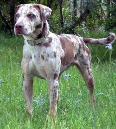 Catahoula Leopard Dog Puppies