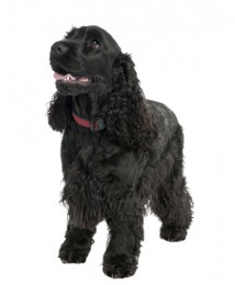 Cocker Spaniel - English