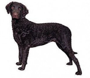 Curly Coated Retriever Puppies