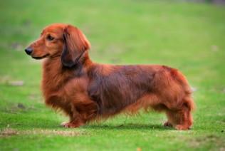 Standard size dachshund breeders
