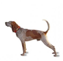 English Coonhound - American Puppies