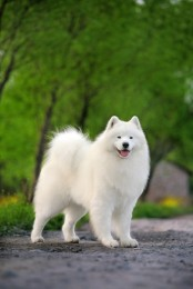 Eskimo Dog - American Puppies