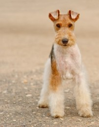 Fox Terrier - Wire Puppies