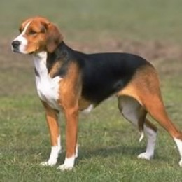 Foxhound - American Puppies