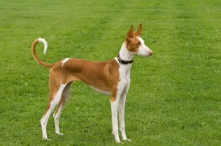 Ibizan Hound Puppies