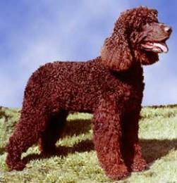 Irish Water Spaniel Dog Breed Info & Pictures | Irish ...