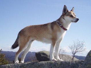 Norwegian Lundehund Dog Breed Info Pictures Norwegian Lundehund