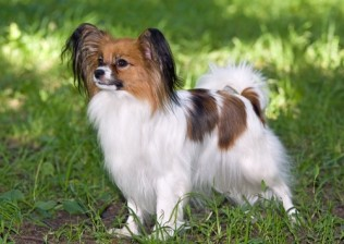 Brown Papillon Puppies