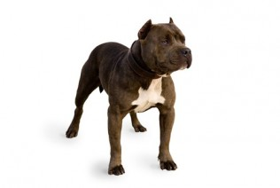 Pit Bull Terrier - American Puppies
