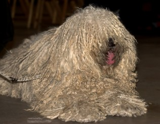 Puli Dog Breed Info & Pictures | Puli Puppies