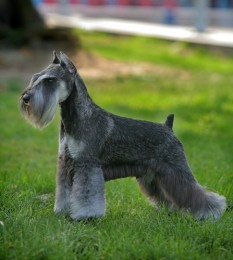 Schnauzer - Miniature Puppies