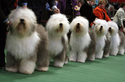 Westminster Dog Show Order Of Breeds