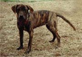... Brindle Dog Breed Info & Pictures | Treeing Tennessee Brindle Puppies