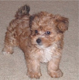Yorkiepoo Puppies, Pictures & Breed Profile | Yorkie Poodle Hybrid