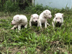Puppies for Sale - Dogs for Sale | Dog Breeders