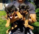 Rottweiler Puppies or Sale